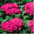 Примула обконика Примлет F1 розовая /100 семян/ *Pan American*