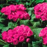 Примула Примлет F1 розовая /100 семян/ *Pan American*