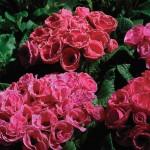 Примула обконика Примлет F1 розовая с ободком /100 семян/ *Pan American*