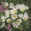 Сон-трава белая /300 семян/ *Hem Zaden*