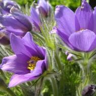 Сон-трава фиолетовая /300 семян/ *Hem Zaden*
