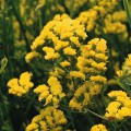 Кермек QIS желтый /1.000 семян/ *Pan American*