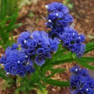 Кермек QIS темно-синий /1.000 семян/ *Pan American*