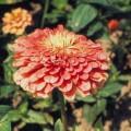 Циния Гиганты Бенари лососевая /100 семян/ *Benary*