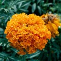 Бархатцы Дискавери F1 оранжевые /250 семян/ *Benary*