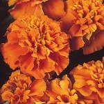 Бархатцы французские Жани оранжевые /1.000 семян/ *Hem Zaden*