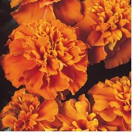 Бархатцы Жани оранжевые /1.000 семян/ *Hem Zaden*
