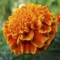Бархатцы Медовые соты /1.000 семян/ *Pan American*