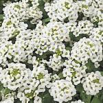 Алиссум Айс Боннет белый /1.000 семян/ *Pan American*