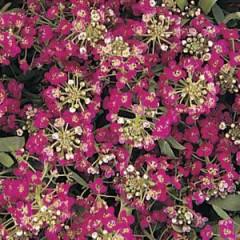 Алиссум Айс Боннет темно-розовый /1.000 семян/ *Pan American*