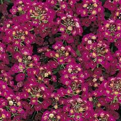 Алиссум Айс Боннет фиолетовый /1.000 семян/ *Pan American*