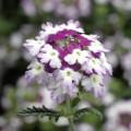 Вербена Обсешен Твистер F1 пурпурная /100 семян/ *Syngenta*
