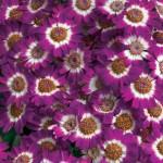 Перикаллис Джестер F1 карминовый биколор /100 семян/ *Syngenta*