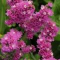 Кермек QIS розовый /1.000 семян/ *Pan American*