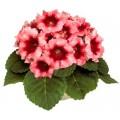 Глоксиния Аванти F1 персиково-розовая /100 семян/ *Sakata*