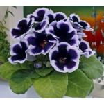 Глоксиния Аванти F1 синяя с ободком /100 семян/ *Sakata*