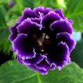 Глоксиния Брокад F1 синяя /100 семян/ *Sakata*