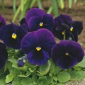 Виола Карма F1 пурпурная /100 семян/ *Syngenta*