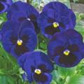 Виола Карма F1 темно-синяя с глазком /100 семян/ *Syngenta*