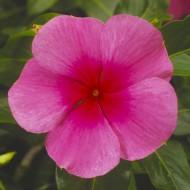 Катарантус Сан Шторм F1 розовый с глазком /100 семян/ *Syngenta*