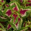 Колеус Визард роуз /100 семян/ *Pan American*