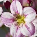 Камнеломка Хайландер розовая с прожилками /200 семян/ *Syngenta*
