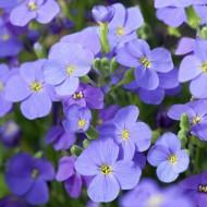 Обриета Одри F1 небесно-синяя /100 семян/ *Syngenta*