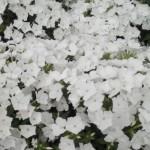 Флокс Этни белый /100 семян/ *Pan American*