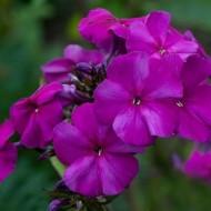 Флокс Этни пурпурно-фиолетовый /100 семян/ *Pan American*