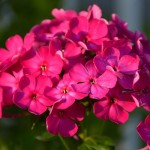 Флокс Этни темно-розовый /100 семян/ *Pan American*