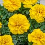 Бархатцы Чика лимонные /200 семян/ *Hem Genetics*