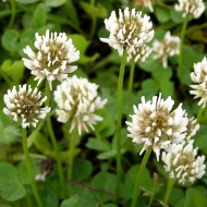 Клевер Ривендел /1 кг/ *DLF trifolium*