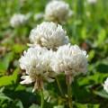 Клевер Ривендел /10 кг/ *DLF trifolium*