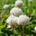 Клевер Ривендел /20 кг/ *DLF trifolium*