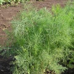 Укроп Роял Дилл /1 кг семян/ *Anseme*