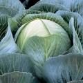 Капуста белокочанная Калорама F1 /2.500 семян калибр/ *Rijk Zwaan*