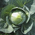 Капуста белокочанная Раноки F1 /10.000 семян/ *Tezier*