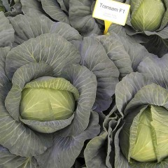 Капуста белокочанная Трансам F1 /2.500 семян/ *Bejo Zaden*