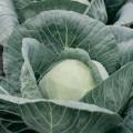 Капуста белокочанная Адема F1 /1.000 семян калибр/ *Rijk Zwaan*