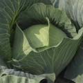 Капуста белокочанная Бронко F1 /2.500 семян/ *Bejo Zaden*