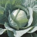 Капуста белокочанная Селма F1 /2.500 семян/ *Rijk Zwaan*