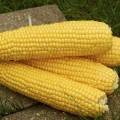 Кукуруза сахарная Трофи F1 /5.000 семян/ *Seminis*