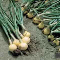 Лук Радар /250.000 семян normal seeds/ *Bejo Zaden*