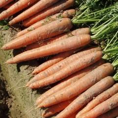 Морковь Бангор F1 (1,8-2,0 мм) /25.000 семян/ *Bejo Zaden*