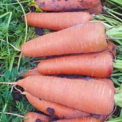 Морковь Каскад F1 (1,8-2,0 мм) /25.000 семян/ *Bejo Zaden*