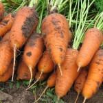 Морковь Курода Шантане /0,5 кг семян/ *United Genetics*