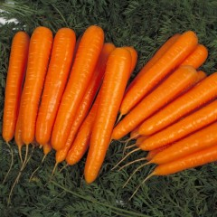 Морковь Лагуна F1 /100.000 семян/ *Nunhems Zaden*