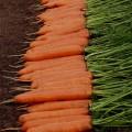 Морковь Монанта /250 г/ *Rijk Zwaan*