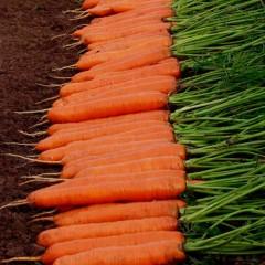 Морковь Монанта /50 г/ *Rijk Zwaan*