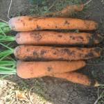 Морковь Нантес Скарлет /0,5 кг семян/ *United Genetics*